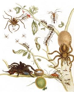 030 Avicularia-avicularia vogelspinnen en parasolmieren merian