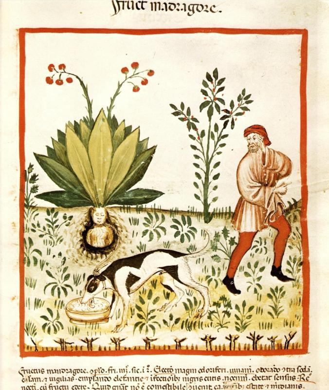 a 024 kader Tacuinum_Sanitatis_Mandrake_Dog