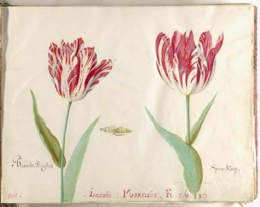 b 028 Bladzijde uit het Tulpenboek van Jacob Marrel, 1637-1645, Rijksmuseum