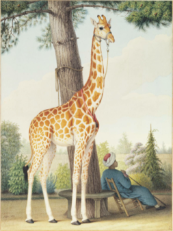 006 Nicolas Hüet, Study of the Giraffe Given to Charles X by the Viceroy of Egypt, 1827. In the collection of the Morgan Library and Museum.